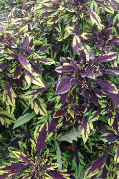 /Images/johnsonnursery/product-images/Coleus Flamethrower Chipotle3_ktzi47fpz.jpg