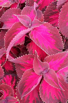 /Images/johnsonnursery/product-images/Coleus Kingswood Torch042407_o78pah8dt.jpg