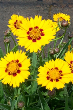 /Images/johnsonnursery/product-images/Coreopsis Sunfire052907_qqzr5ack4.jpg