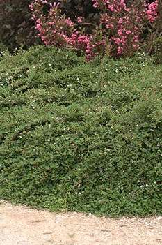 /Images/johnsonnursery/product-images/Cotoneaster Little Dipper_p1hazmje0.jpg