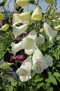 /Images/johnsonnursery/product-images/Digitalis Camalot White3051613_muwc8xwng.jpg