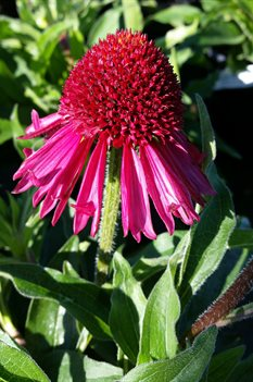 /Images/johnsonnursery/product-images/Echinacea Delicious Candy050817_2atqmpkvr.jpg