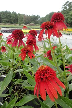 /Images/johnsonnursery/product-images/Echinacea Hot Papaya080213_ia5towovm.jpg