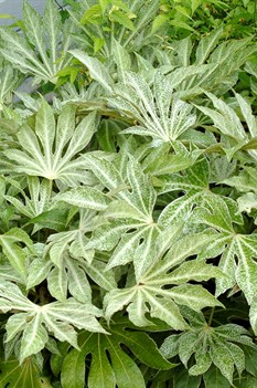 /Images/johnsonnursery/product-images/Fatsia-Spiders-Web-8-website_zs4wrpkpi.jpg