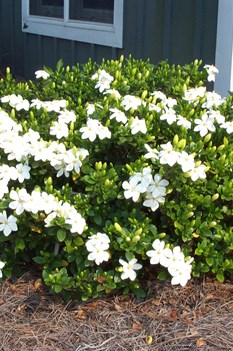 /Images/johnsonnursery/product-images/Gardenia Klines Hardy3051700_qc1jnkc2f.jpg