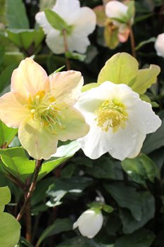 /Images/johnsonnursery/product-images/Helleborus Jacob - Beth2_hievqjht5.jpg