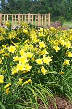 /Images/johnsonnursery/product-images/Hemerocallis Happy Returns051700_sctz6a92n.jpg