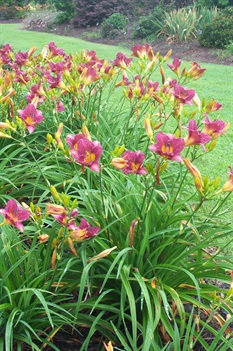 /Images/johnsonnursery/product-images/Hemerocallis Purple De Ora3061401_xzkuxff4m.jpg