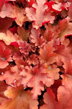 /Images/johnsonnursery/product-images/Heuchera Dolce Cinnamon Curls2031518_umeqdkeit.jpg