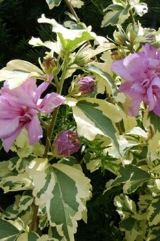 /Images/johnsonnursery/product-images/Hibiscus Sugar Tip Gold_jx43oaw9t.jpg