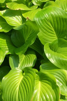 /Images/johnsonnursery/product-images/Hosta_plantaginea070700_kaanit40t.jpg