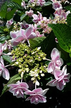 /Images/johnsonnursery/product-images/Hydrangea Double Delights Star Gazer3060716_0gj8u51f7.jpg