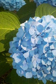 /Images/johnsonnursery/product-images/Hydrangea Penny Mac060211_t32g6f85c.jpg