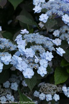 /Images/johnsonnursery/product-images/Hydrangea Tiny Tuff Stuff_x720sw6qz.jpg