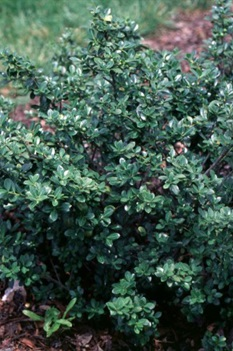 /Images/johnsonnursery/product-images/Ilex Green Luster2_wg16141en.jpg