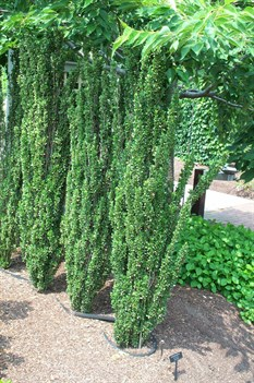/Images/johnsonnursery/product-images/Ilex Sky Pencil062901_htp6vgwsv.jpg
