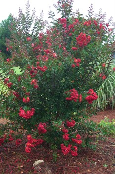 /Images/johnsonnursery/product-images/Lagerstroemia Dynamite3071102_rra0zhu7n.jpg