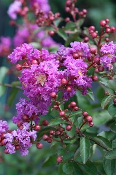 /Images/johnsonnursery/product-images/Lagerstroemia Infinitini Purple_n8woh96n6.jpg