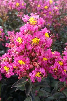 /Images/johnsonnursery/product-images/Lagerstroemia Plum Magic080216_3w9q7dsw6.jpg