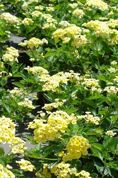 /Images/johnsonnursery/product-images/Lantana Chapel Hill Yellow072813_fed9wud8m.jpg