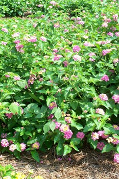 /Images/johnsonnursery/product-images/Lantana Ham and Eggs2071008_xwagl7898.jpg