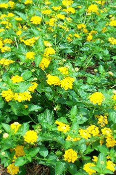 /Images/johnsonnursery/product-images/Lantana Landmark Gold071008_lmturfa3i.jpg