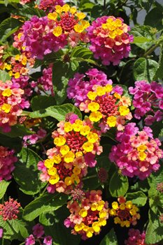 /Images/johnsonnursery/product-images/Lantana Landmark Rose Sunrise3070813_ml3cci0s1.jpg
