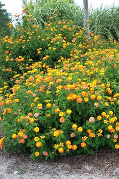 /Images/johnsonnursery/product-images/Lantana Miss Huff_mgax6hkte.jpg