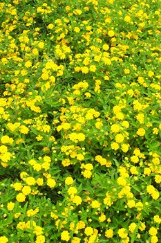 /Images/johnsonnursery/product-images/Lantana New Gold061900_7z47cimg4.jpg