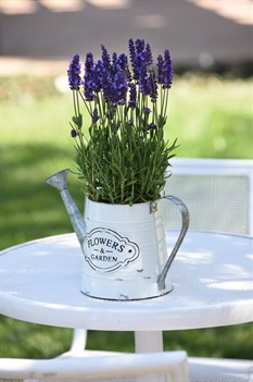 /Images/johnsonnursery/product-images/Lavandula_Blue_Spear_Container_24339_2t29sp3g2.jpg