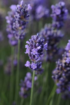 /Images/johnsonnursery/product-images/Lavandula_SuperBlue_Bloom_17289_tem7vqfl1.jpg