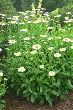 /Images/johnsonnursery/product-images/Leucanthemum Becky070103_u4zeq047j.jpg
