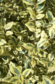 /Images/johnsonnursery/product-images/Ligustrum Swift Creek2092006_cts4wsxgk.jpg