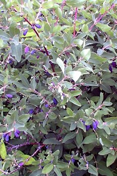 /Images/johnsonnursery/product-images/Lonicera Berry Blue_48726nxnq.jpg
