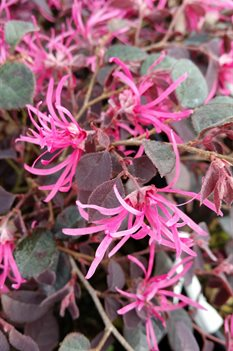 /Images/johnsonnursery/product-images/Loropetalum Crimson Fire031816_g232s9l2j.jpg