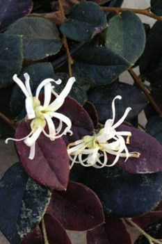 /Images/johnsonnursery/product-images/Loropetalum Jazz Hands Night Moves_e7pe6h97g.jpg