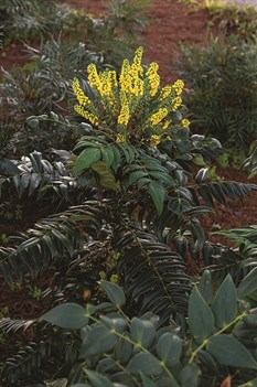/Images/johnsonnursery/product-images/Mahonia_Marvel_Habit_20190104X21A3008_1200x1800_website_api2mknmo.jpg