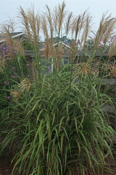 /Images/johnsonnursery/product-images/Miscanthus Cosmopolitan091802_lmirkt2ah.jpg