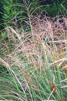 /Images/johnsonnursery/product-images/Miscanthus Gracillimus2091900_dm3t6929w.jpg