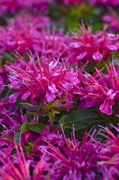 /Images/johnsonnursery/product-images/Monarda Pardon My Purple 2_3j52uzhof.jpg