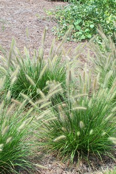 /Images/johnsonnursery/product-images/Pennisetum Cassian3080509_rwn5mr5or.jpg