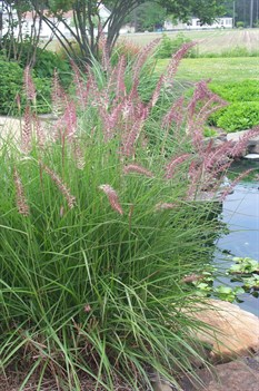 /Images/johnsonnursery/product-images/Pennisetum Karley Rose051006_gqblx7x9x.jpg