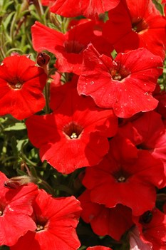 /Images/johnsonnursery/product-images/Petunia Easy Wave Red MI13_z1bfejgbn.jpg