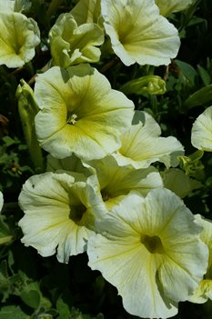 /Images/johnsonnursery/product-images/Petunia Supertunia Limoncello042716_hz11mk9o9.jpg
