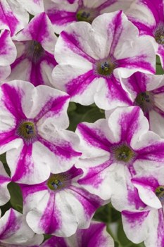/Images/johnsonnursery/product-images/Petunia Supertunia Lovie Dovie_dmz6tw1im.jpg
