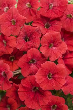 /Images/johnsonnursery/product-images/Petunia Supertunia Realy Red_le57w9xqp.jpg