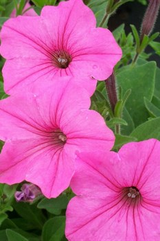 /Images/johnsonnursery/product-images/Petunia Vista Bubblegum_9itakczw9.jpg