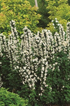 /Images/johnsonnursery/product-images/Philadelphus_Illuminati_Tiny_Tower_website_jl5z876f5.jpg