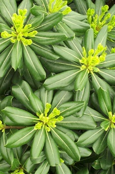/Images/johnsonnursery/product-images/Pittosporum Louisiana Green_3zs9d9l6p.jpg
