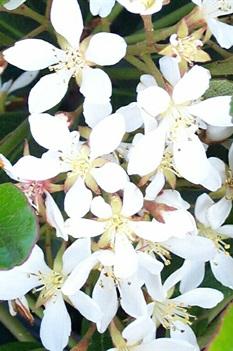 /Images/johnsonnursery/product-images/Raphiolepis Snow White2040901_2b61ccsxe.jpg